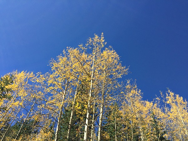 aspen leaves, fall